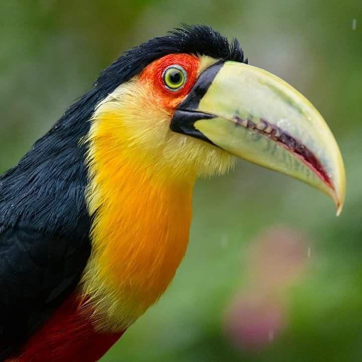Toucan Birds Beautiful Birds Bird Art