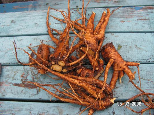 Yellow Dock Root, also known as Curly Dock, grows in a wide range of habitats, from wetlands to fields, edges of roads and forests. It is a member of the Polygonaceae, or knotweed/buckwheat family....