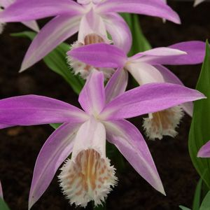 HIMALAYAN ORCHID - LIGHT PURPLE - Garden Express