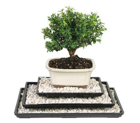 Bonsai Pro fertilizer is exactly that – the bonsai fertilizer used by the pros! It hammers in all 6 macro nutruients and all 10 mirco nutrients that are essential for the healthy growth and developmen