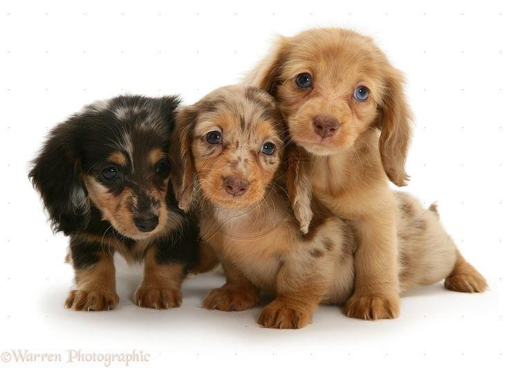 dachshund | WP10424 Three Dapple Miniature Long-haired Dachshund pups.