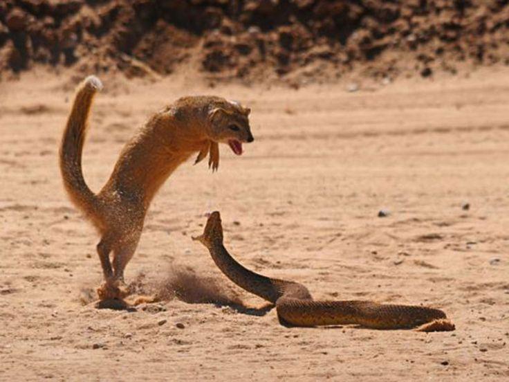 Mongoose Catches And Kills Snake - sanctuariesindia.com