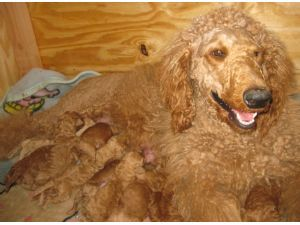 Standard Poodles for Sale nc | Red Standard Poodles - Standard Poodle for Sale