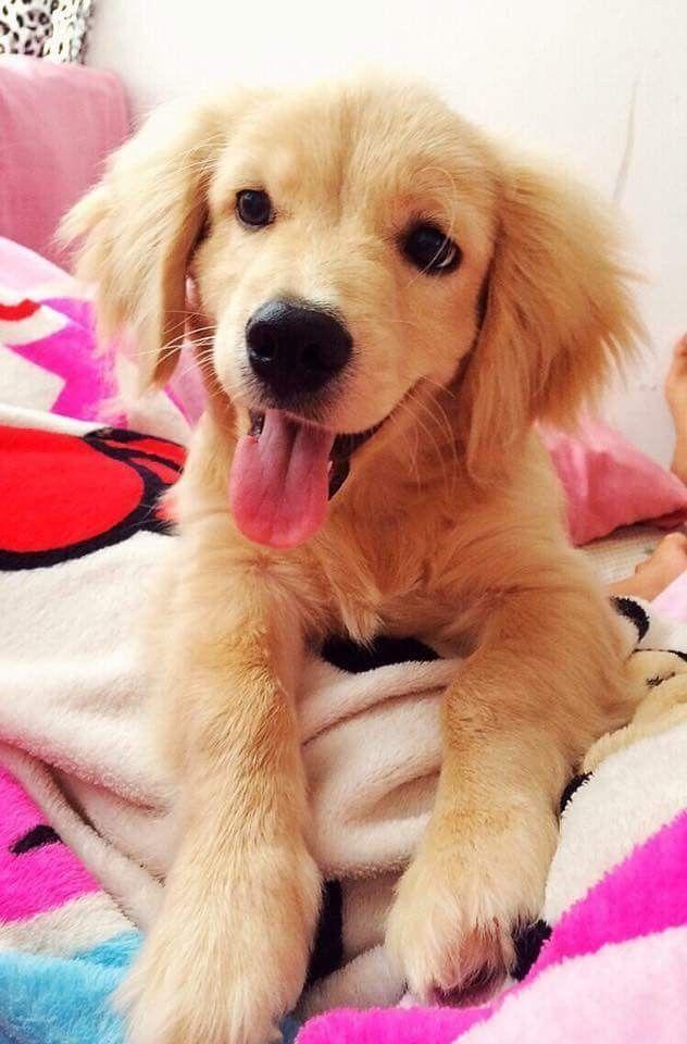 Golden Retriever Puppy Dog Goldenretriever Dogs Dogs Puppies