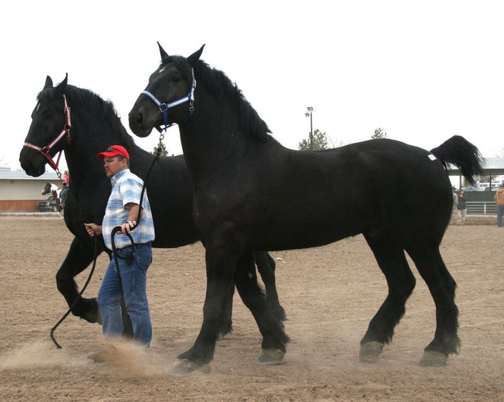 Percherons, the guy leading the horse is just under 6 ft tall, these are HUGE !!! Im afraid of horses but I would love to have a matched set of Percherons. Don't ask me to explain it cuz I can't I just love them even if Im afraid of them.