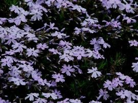Phlox subulata `Purple Beauty`         (Kruipende vlambloem)
