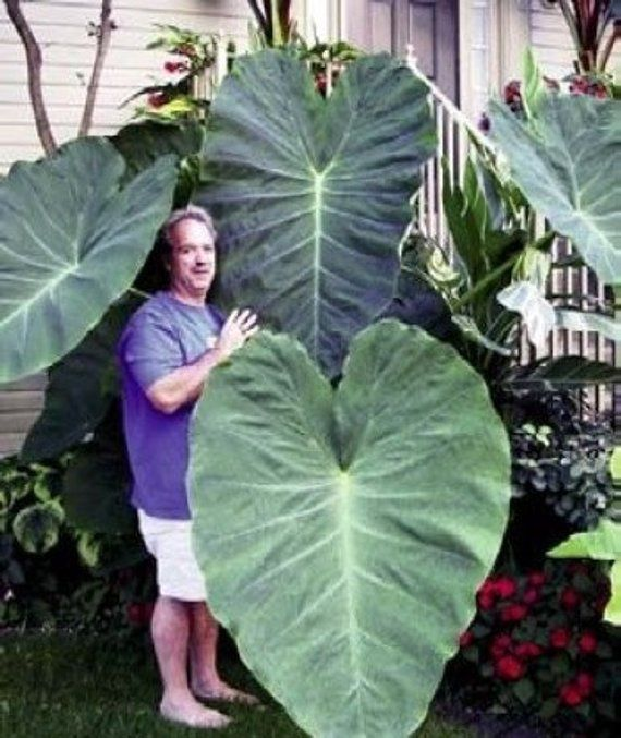 3 Jack S Giants Elephant Ear Bulbs For Sale Elephant Ear Bulbs