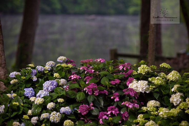 Wunderbar farbenfrohe Hortensien der Endless Summer® Collection.