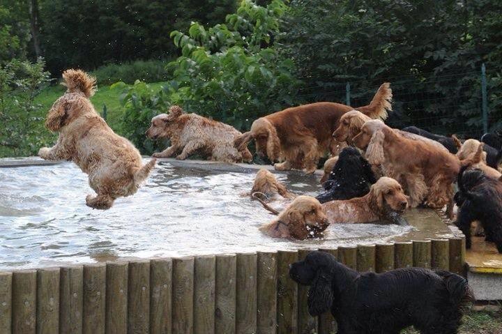 Australian cocker spaniel rescue pups splash out! What a happy sight.