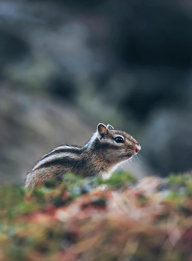 Little Chipmunk Photograph by Oksana Ariskina. A little chipmunk standing and posing on a fallen tree on the forest #OksanaAriskina Available as poster, greeting card, phone case, throw pillow, framed fine art print, metal, acrylic or canvas print with my fine art photography online: www.oksana-ariskina.pixels.com