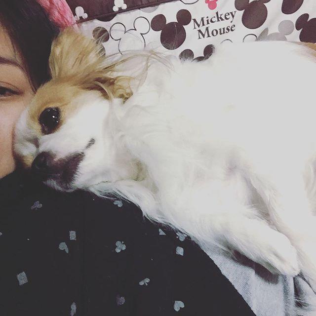 ラブラブ❤️ #いぬすたぐらむ #dogstagram #パピヨン #チワワ  #ミックス  #犬  #パピチワ #チワパピ  #スイカ #わんこ #すいか #犬バカ #パピヨンラブ #スムチー  #うちのわんこ #愛犬 #犬バカ #大好きわんこ #chihuahua #Papillon #dog