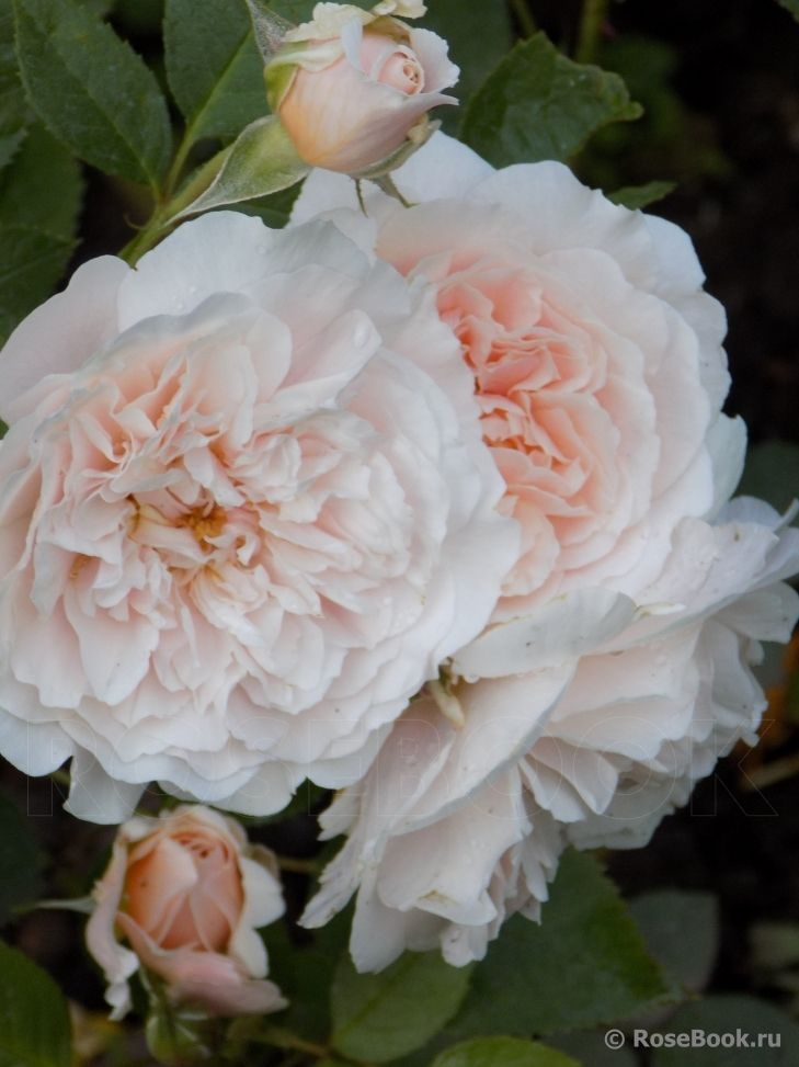 Bredon (AUSbred) Austin Великобритания, 1984 Английские розы (English Rose…