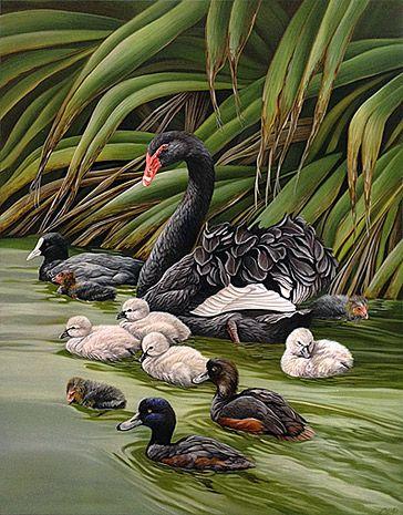 craig Platt nz artista aves nativas, cisnes