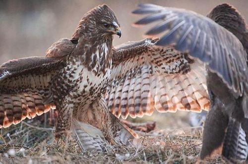 Unser erster #Regram im März stammt von Niklas (@niklas_wildlife) der diese besondere Aufnahme kürzlich aus einem Tarnversteck am Niederrhein machte. Zusammen mit einem Freund beobachtete er die Mäusebussarde. Mit seiner #Nikond3x hielt er dabei diese beiden beeindruckenden Vögel im Streit um Futter fest. Nutze #nikondeutschland für deine Chance auf unserem Kanal gefeatured zu werden! #Nikon #nikondeutschland #D3x #birds #mäusebussard #niederrhein #wildlife #view #germany #nature #photo…