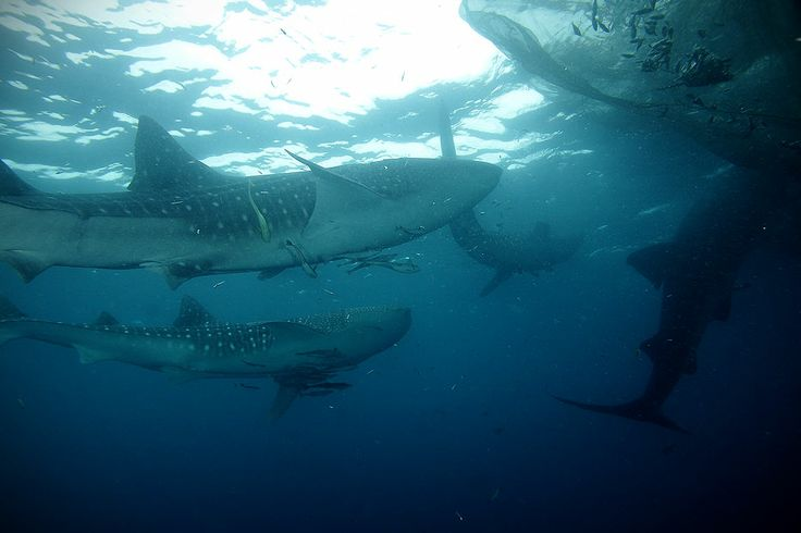 A number of whalesharks are interested in anchovies trapped in the fishermen's floating platforms, called bagan in Kwatisore, Cendrawasih Bay National Park. The biggest whaleshark ever found in the national park weighs of about 15 tonnes and is 14 meters length. The whaleshark is categorized as an endangered animal based on International Union for the Conservation of Nature dan Resources.
