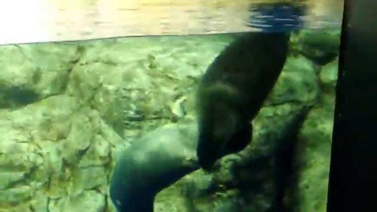 まんまる太っちょがカワイイ!バイカルアザラシ(Baikal seal)Youtube動画
