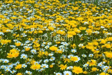 Campo con margherite gialle e bianche #microstock #marketing #webdesign #webtemplate #webeditor #SEO #csstemplates #css #HTML5 #Websites #web2015 #web #websitetemplates #WordPress
