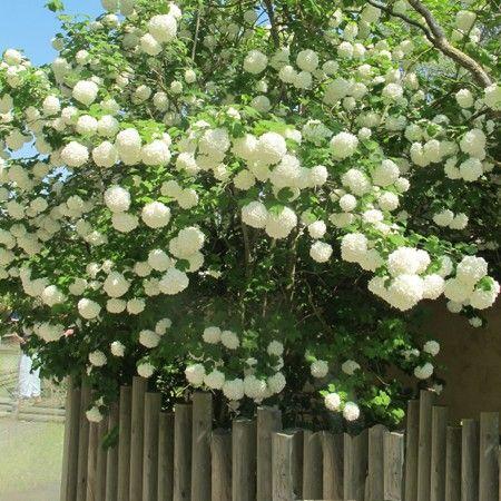 Viorne ou Viburnum Boule de neige 'Roseum' - Plantes et Jardins