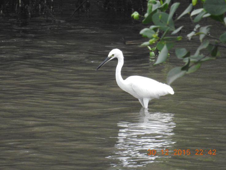 Little Egret @ Lower Seletar Reservoir