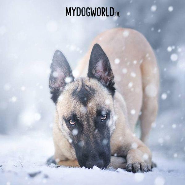 Photography Belgian Malinois Puppy Cute Puppy Schaferhund Welpe