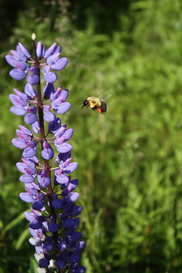 Canada wildflowers w/guest Photography Pinterest
