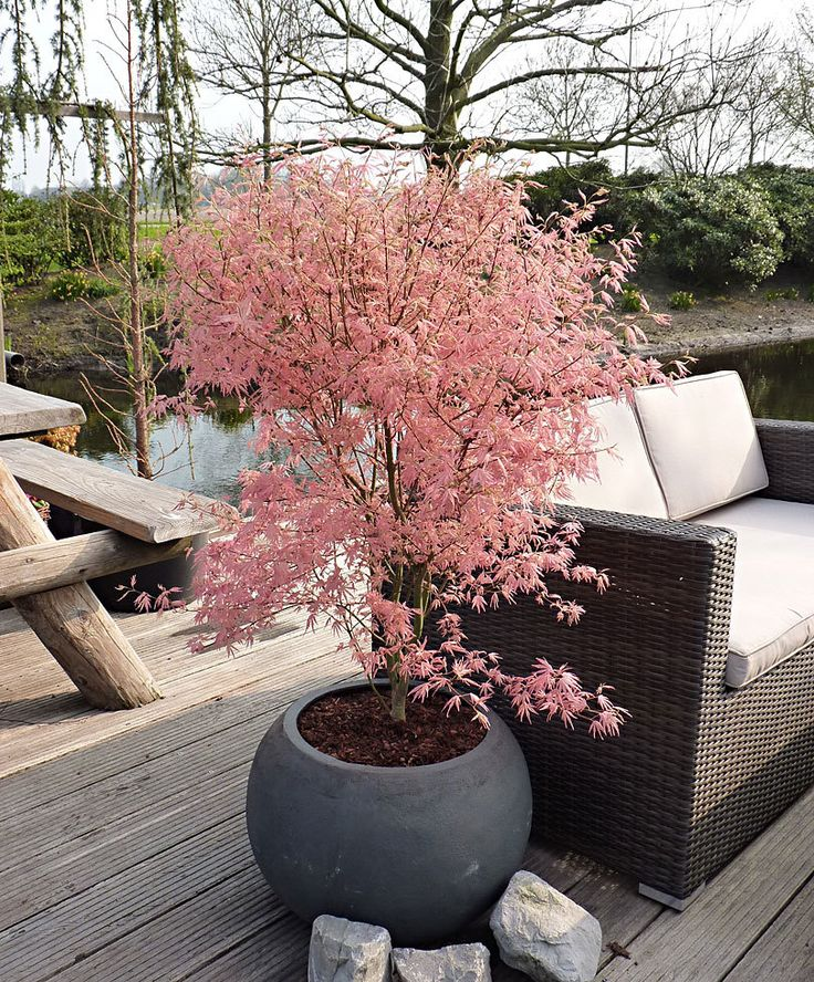 le 25 migliori idee su japanischer f cherahorn su pinterest aceri giapponesi oleander. Black Bedroom Furniture Sets. Home Design Ideas