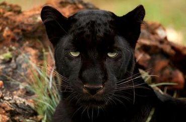 Preserve Black Leopard Habitat in Thailand ! PLEASE SIGN ! ! - Care2 News Network