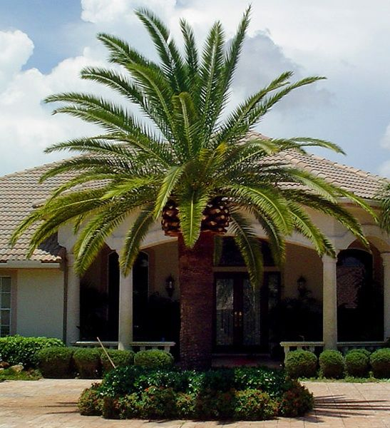 A beautiful Canary Island Date Palm Tree adds character to your front vantage point. #CurbAppealContest