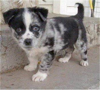 This is an Aussie-Corgi mix PUPPY. Please, may I have one? I promise to never ask for another thing again ever.