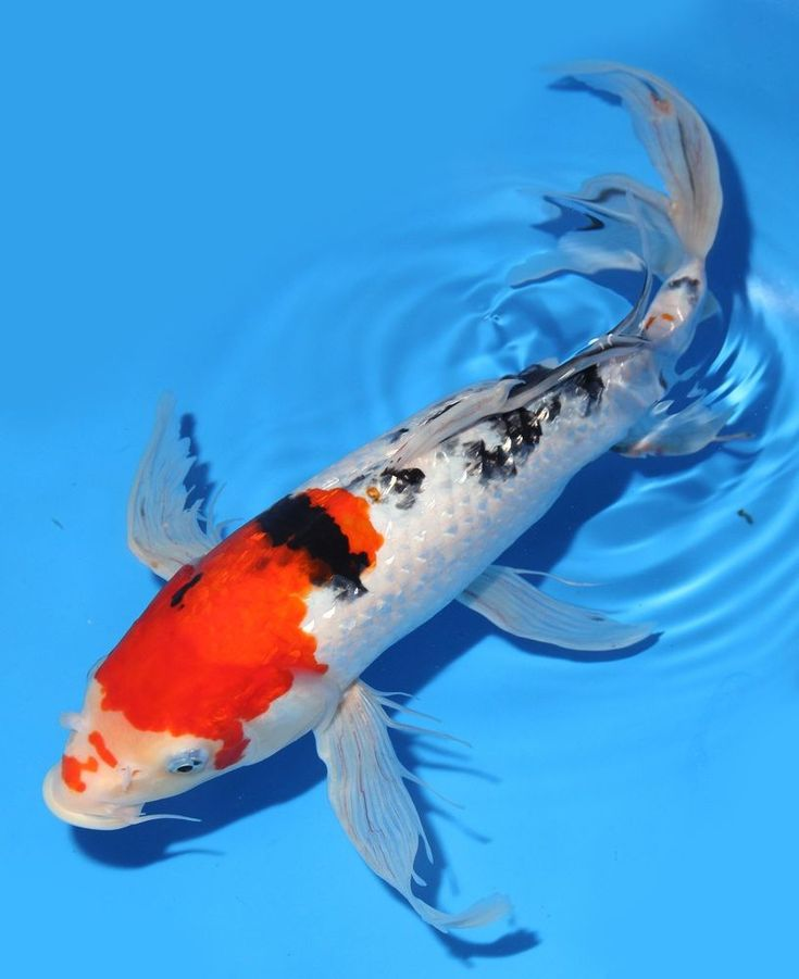 417 best images about koi fish on pinterest 14 zippers for Giant koi fish