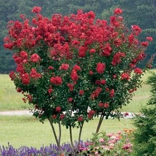 Dwarf Crape Myrtle Red - Longest Blooming Tree
