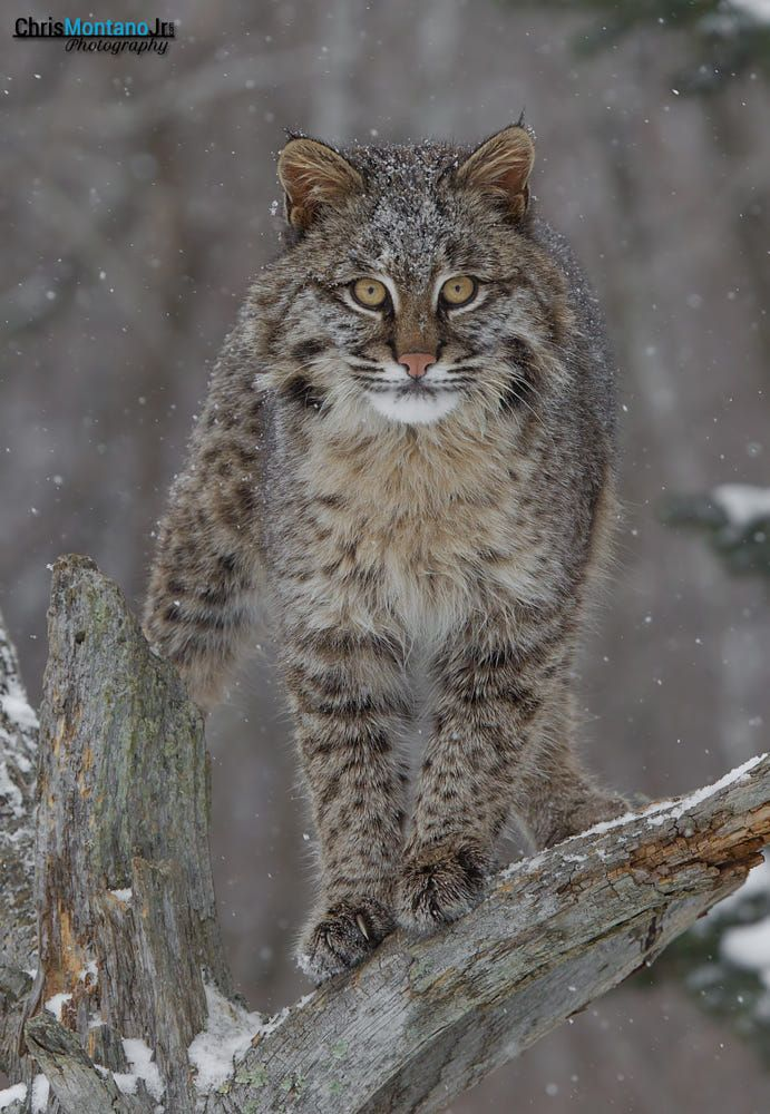 Bobcat Staredown by Chris Montano Jr. / 500px nel 2020