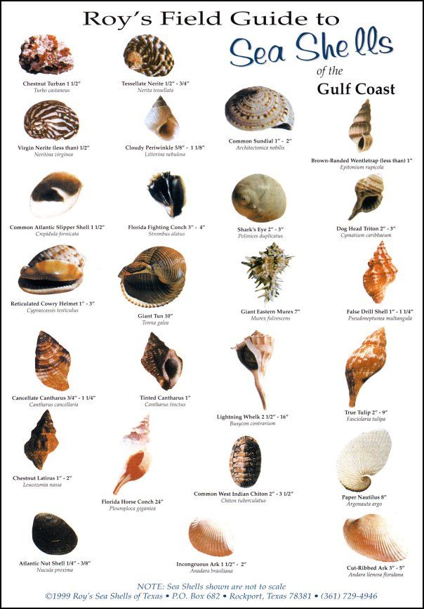 best 25 seashell identification ideas on pinterest