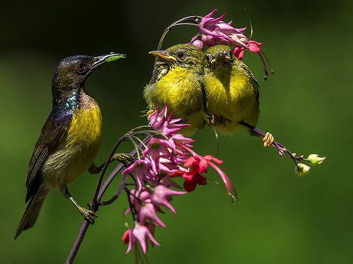 Kolibri | Burung Kolibri - Burung Penghisap Madu - Brown Thr… | Flickr