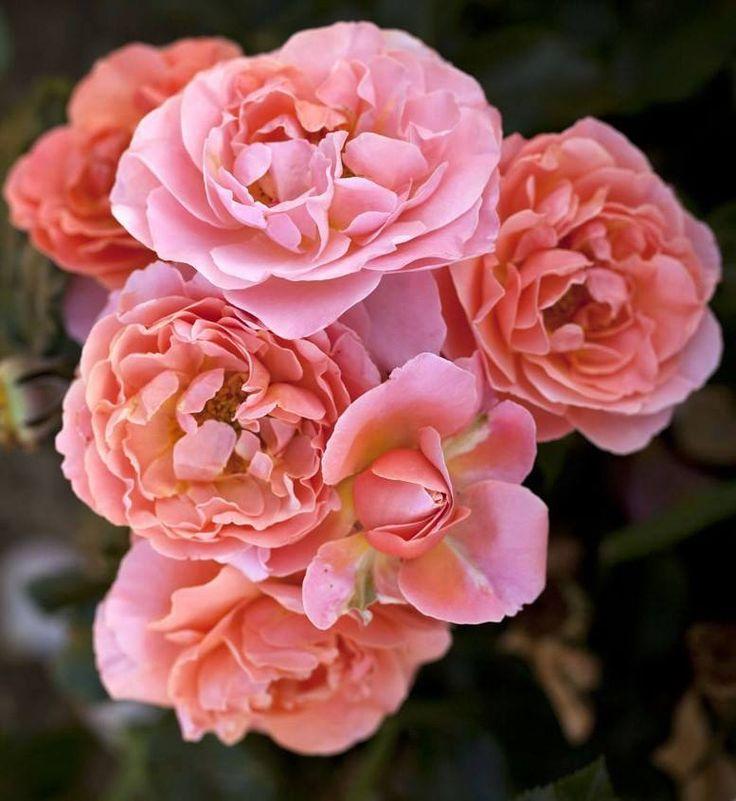 3595 best images about roses 2 on pinterest. Black Bedroom Furniture Sets. Home Design Ideas