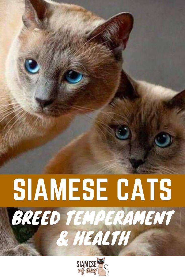 Siamese Cat Breed Temperament & Health in 2020 Siamese
