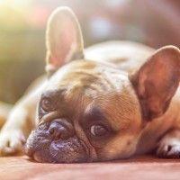 #dogalize Enfermedades Caninas: Mastitis en perros sintomas #dogs #cats #pets