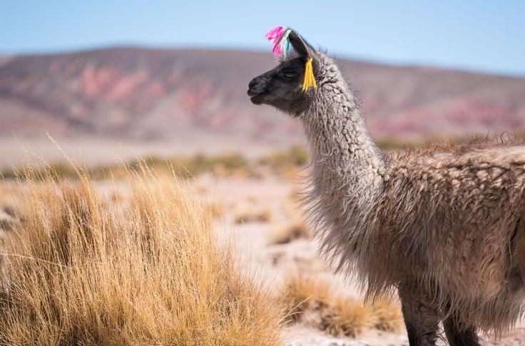 Vårt første møte med Bolivia var en fire dagers biltur gjennom etlandskap så øde at jeg fikk følelsen av å være på en annen planet. Ikke bare så vifargede innsjøer, 6000-meters høye vulkaner og flaksende flamingoer, men også verdens største saltslette! Etter et uventet langt opphold iArgentina grunnet diverse sykdommer og skader, var Kenneth og …