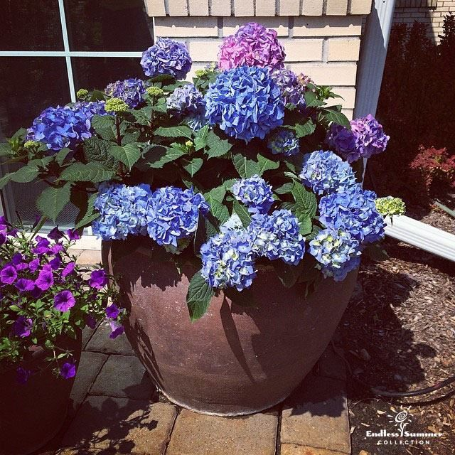 BloomStruck™ hydrangea is perfect for a container garden!