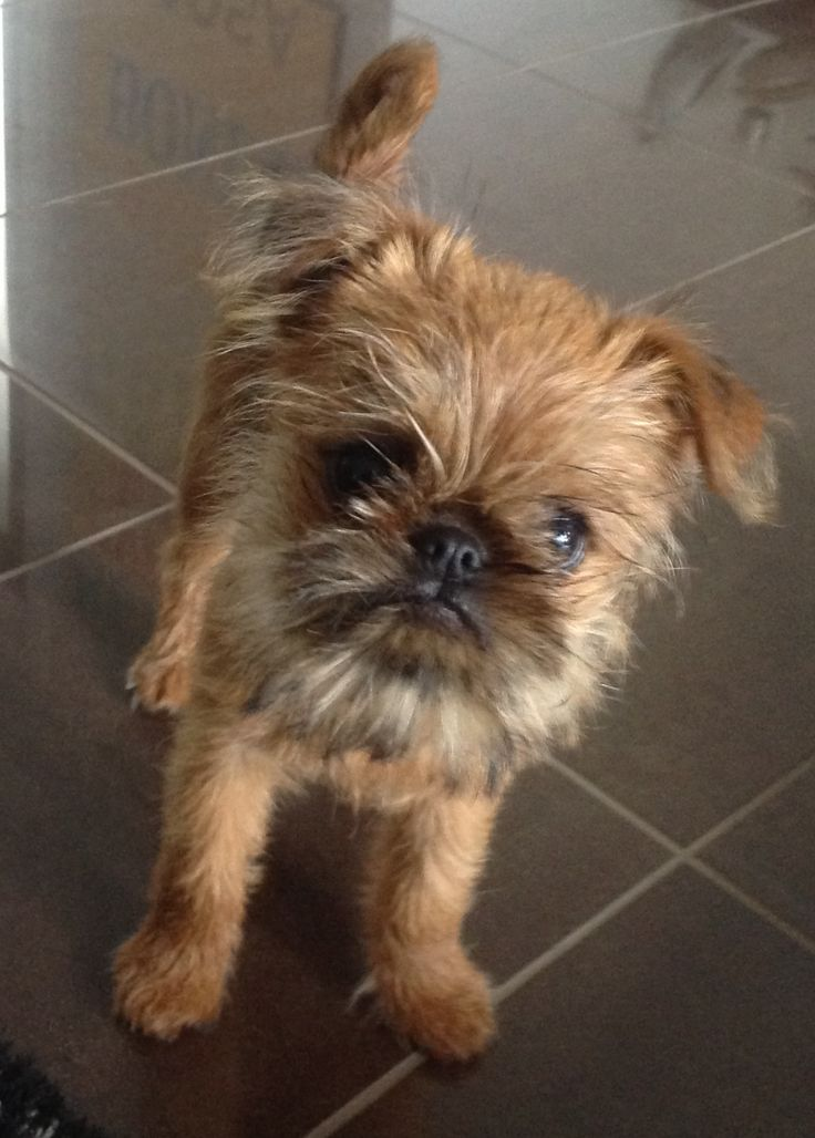 Brussels Griffon; I will own one, one day and I will call him Chewy ❤️