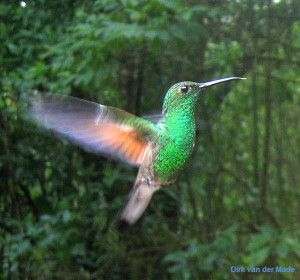 Amazon Rainforest Birds | ... . They are the only birds that can fly backwards as well as forwards