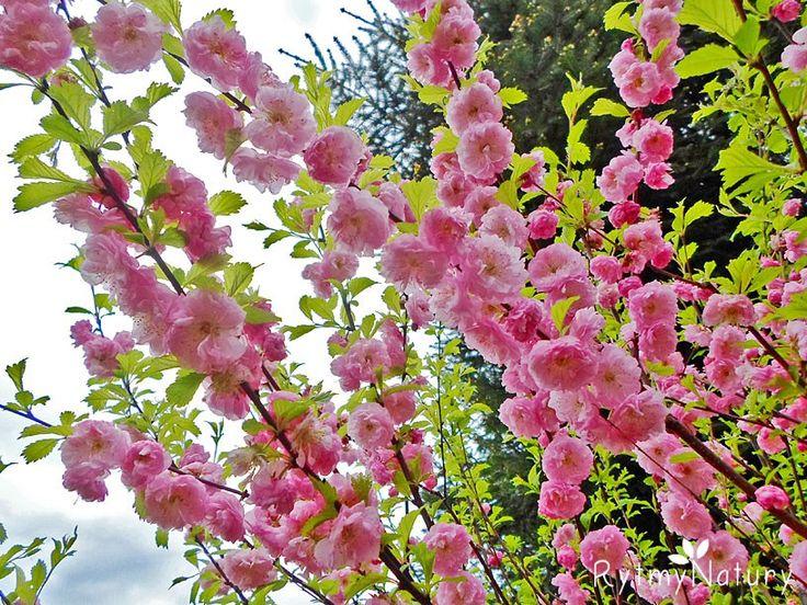 Migdałek trójklapowy /Prunus triloba/ inaczej migdałowiec to jeden z piękniej kwitnących wiosennych krzewów. Mimo, że jest krzewem z powodzeniem można go uprawiać jako drzewko. Aby przybrał taką formę szczepi się go na pniu. Właśnie taki egzemplarz posiadam osobiście. Gdyby nie pewna paskudna choroba atakująca migdałka trójklapowego byłaby to roślina idealna. Ale o tym za chwilę.  #rytmynatury #ogród #garden #spring #wiosna #krzewozdobny #migdałek