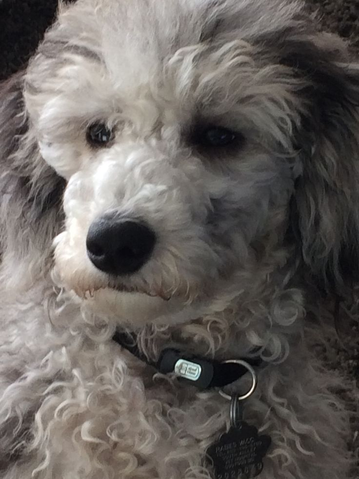 Pin by Teresa Crowe Thomas on Poodle Poodle, Puppies, Dogs