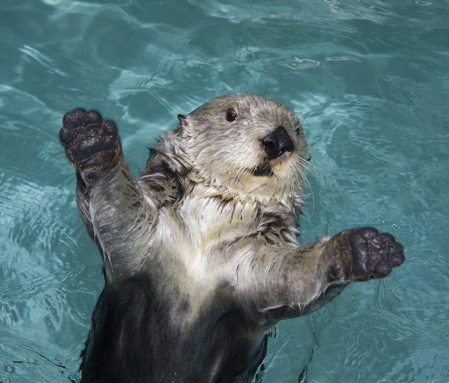 Sea Otter from Georgia Aquarium