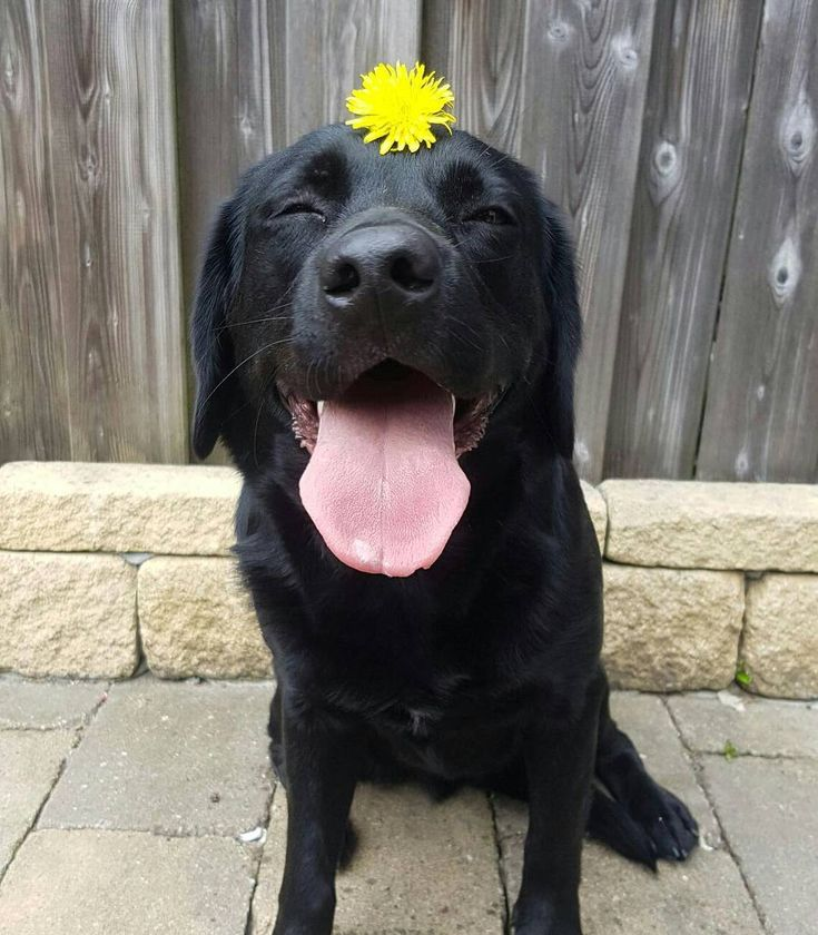 """324 Likes, 13 Comments - bowie_the_lab (@bowie_the_labrador) on Instagram: """"The flower lady @lafebre.66 put me up to this. She thought, she combine the 2 best things. But we…"""""""