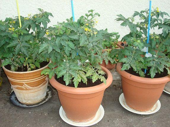 Pěstování zeleniny na balkoně či parapetu: Zkuste rajčata nebo ředkvičky | Nazeleno.cz