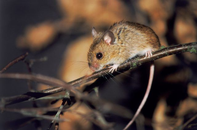 How To Keep Mice Out Of Duct Work And Crawl Spaces Getting Rid Of Mice Mice Repellent How To Deter Mice