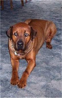 Boxer/Rottweiler mix. How perfect, I love both of these breeds!