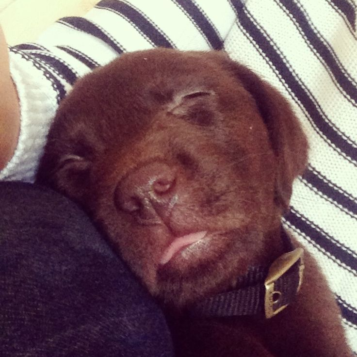 Taking a power nap! Too much fun playing outside today! Puppy - Labrador - chocolate lab - dog - sleep - petersfield - love - pets - home - countryside.