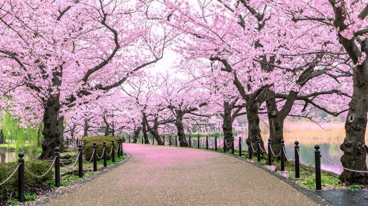 Cherry Blossom Festival In Japan 10 Best Spots Bookmundi Blossom Trees Cherry Blossom Japan Best Honeymoon Destinations